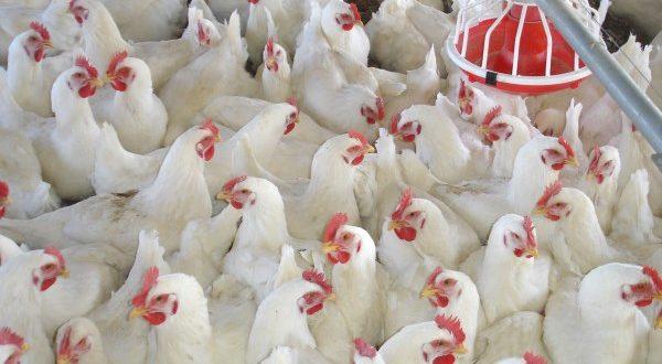 A Poultry Farm